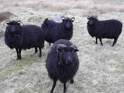 Hebridean Sheep!