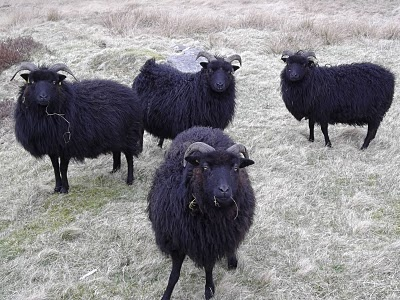 Hebridean Sheep!