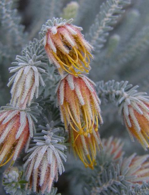 340 best images about australian native plants  love  on pinterest