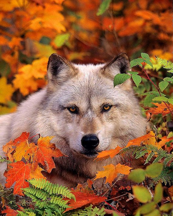 Gray Timber Wolf in Fall Leaves