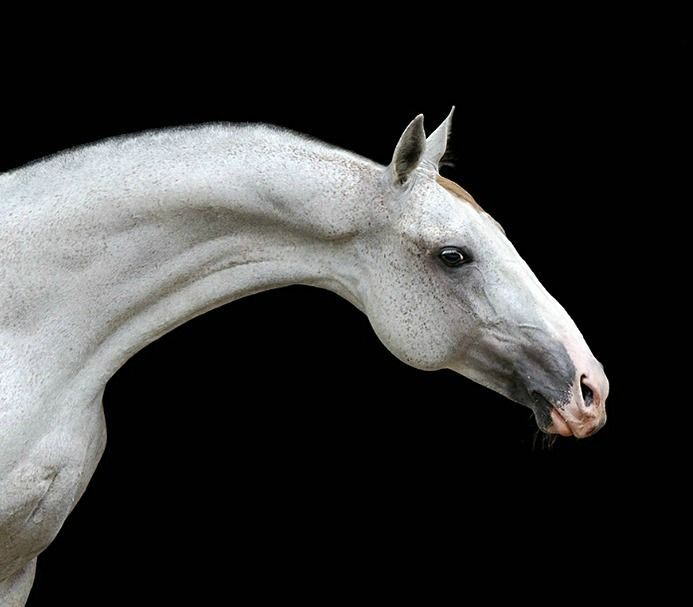 Akhal teke stallion, Pehimdar. photo: Ekaterina Druz.