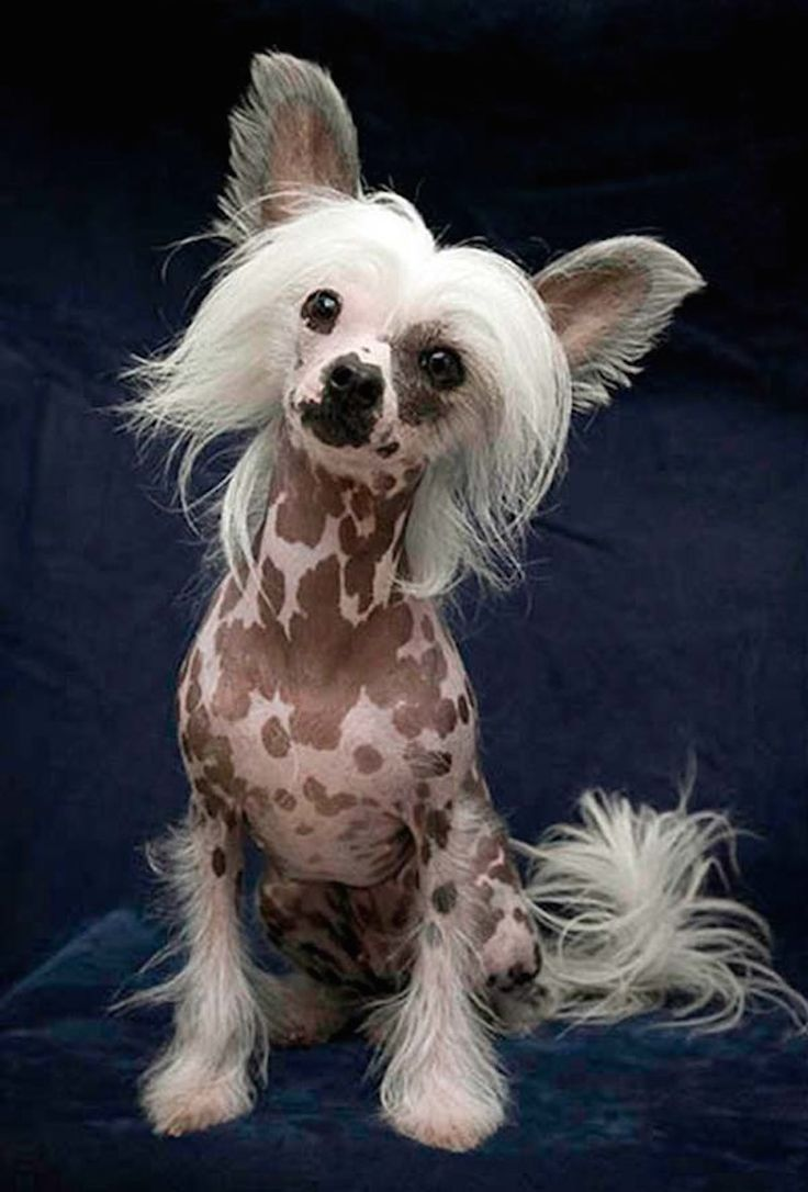 Who needs coats or cute clothes when you've got a vivid birthday suit like this Chinese Crested dog?