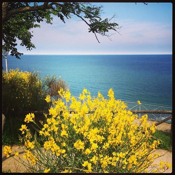Ginestre gialle dipingono uno sfondo blu intenso del mare. In cornice, un albero in contrasto. #numana #conero #rivieradelconero #tourism #sea #beaches #marche #italy   photo:massimopaolucci