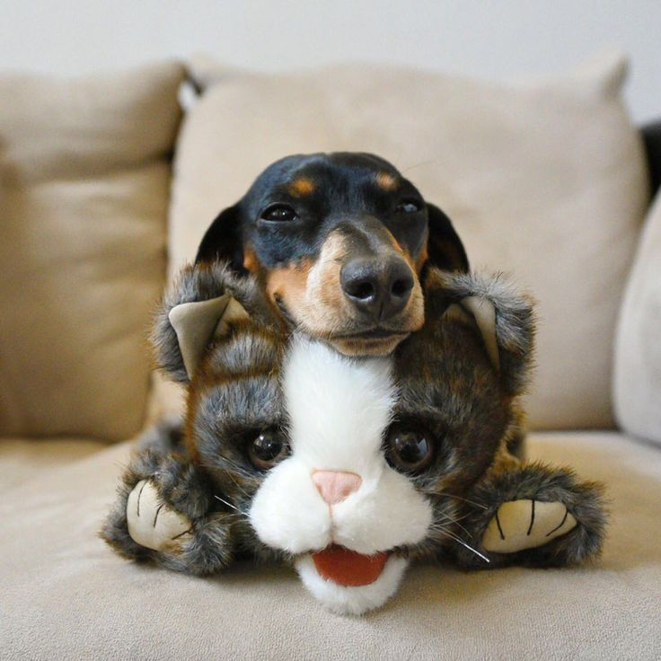 'Happy Caturday' - Adorable Little Reese the Miniature Dachshund Puppy & her Toy Cat