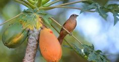 ¿Quieres cultivar papaya en casa?