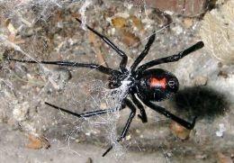 Female Black Widow: http://mireilleg.hubpages.com/hub/Black-Widow-Spider-Facts