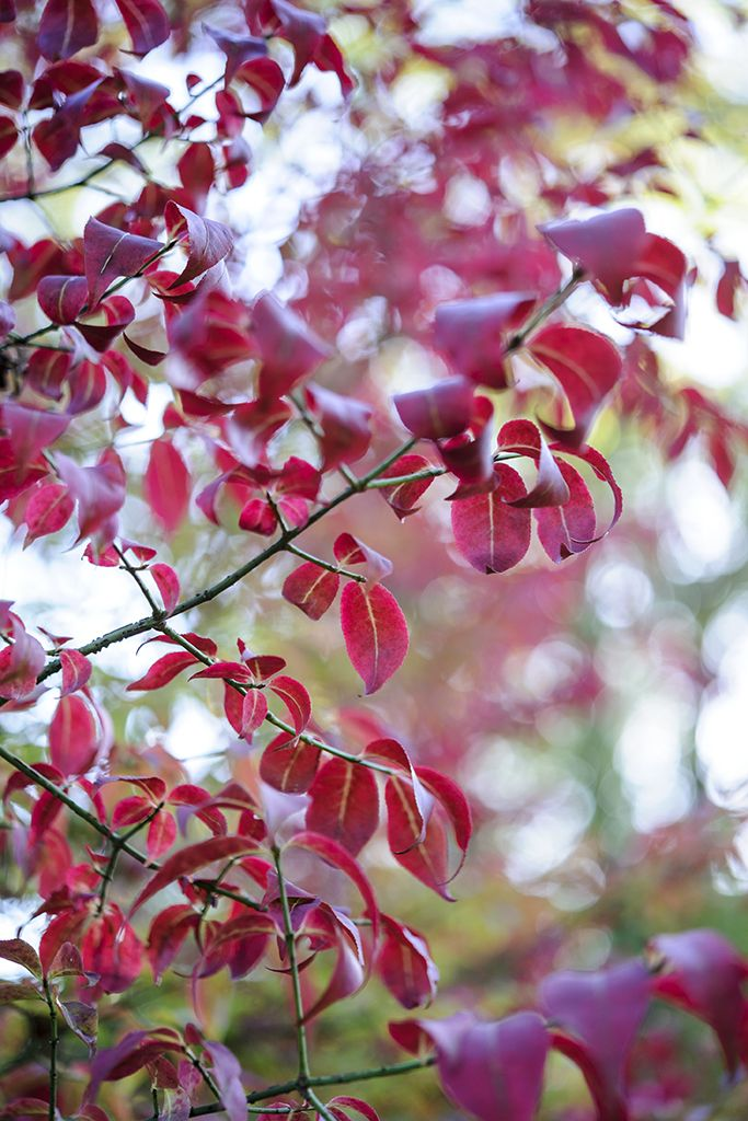 Trees for small gardens: Winged spindle (Euonymus alatus) has glorious, crimson autumn leaves. Ultimate height: 2.5metres. Find out more at: http://www.gardenersworld.com/plants/euonymus-alatus/3076.html Photo: Jason Ingram