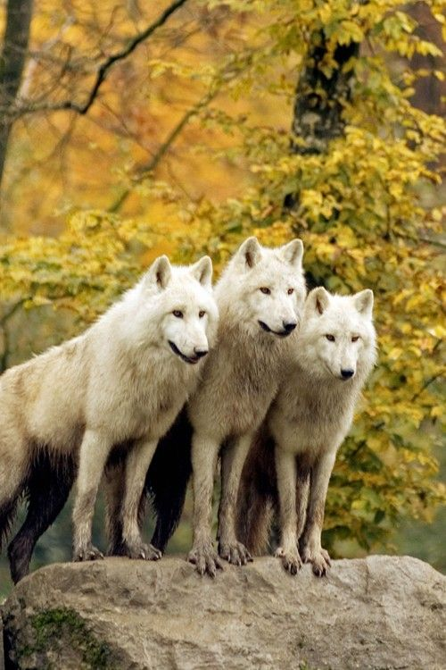 Serious Facts You Must Know about the White Snow Wolf