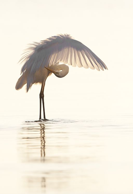 Great Egret n Moronis Sea, Crete, Greece // Photo by Manos Papadomanolakis