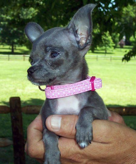 ~ Blue and White Chihuahua ~