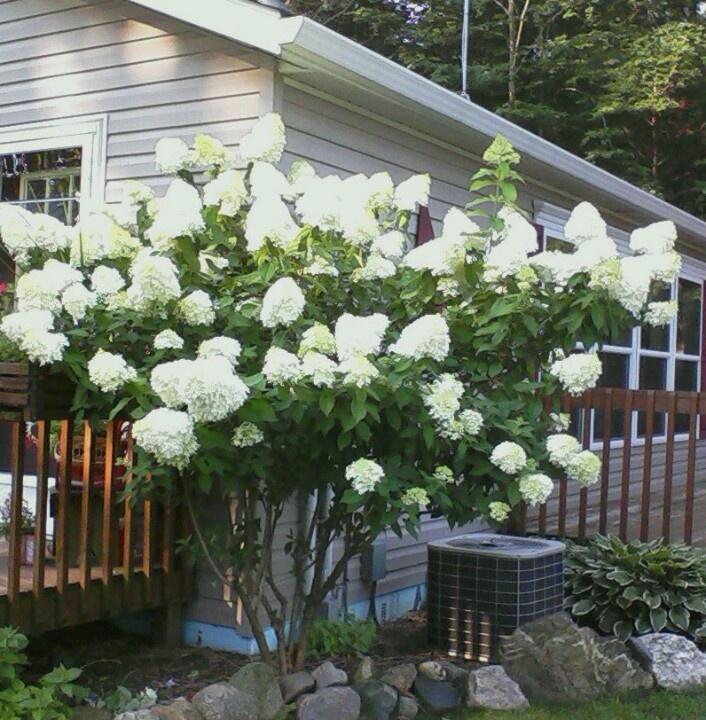 87 best Limelight Hydrangea Tree images on Pinterest | Limelight ...