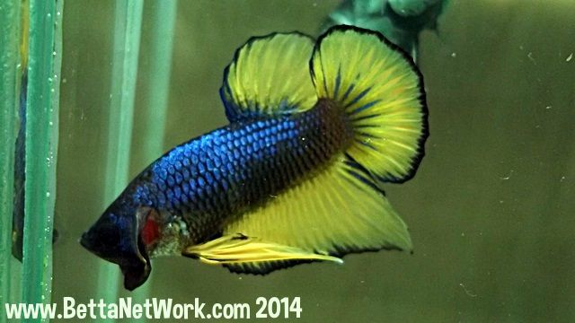 1000 images about goodbetta on pinterest for Petco koi fish
