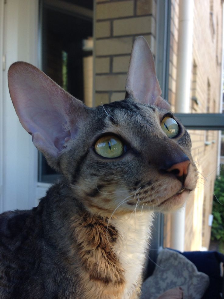 Zingo, cornish rex