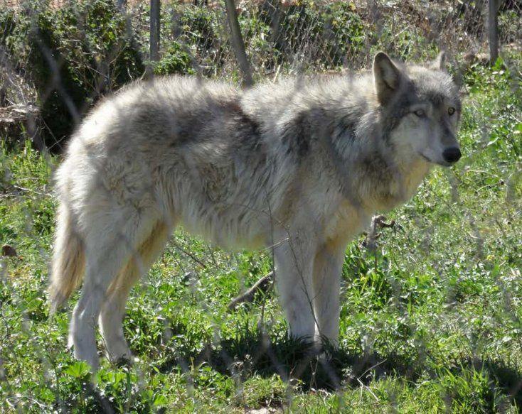 Perro lobo  Todos los canes provienen de los lobos, pero muchas de las especies actuales están directamente mezcladas con estos animales salvajes. Debido al inherente peligro de cruzar a un animal doméstico con otro que no lo es, los híbridos resultan ser usualmente muy asustadizos e impredecibles, hasta el punto de que en muchos estados son ilegales. Entre los años 1979 y 1998 se comunicaron 14 fallecimientos debido a estas criaturas sólo en USA.
