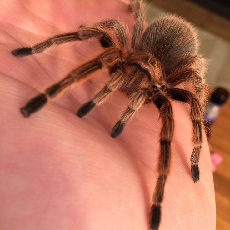 Chilean rose hair tarantula. Extremely docile and great for beginners... however they are know for becoming randomly aggressive