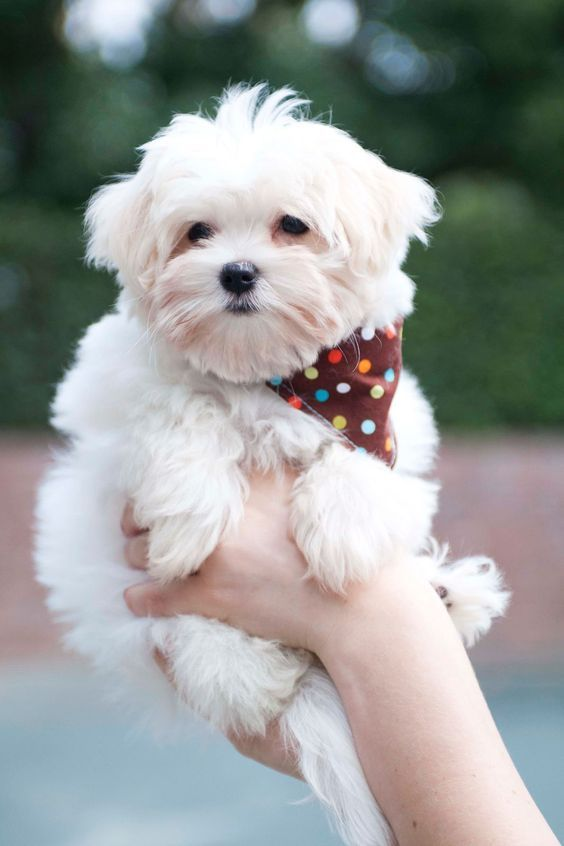 Pin By Christine G On P O O C H A N I S T A Maltese Dogs