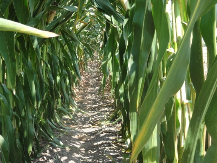 הישרדות Pinterest: 168 Best Images About Maize On Pinterest