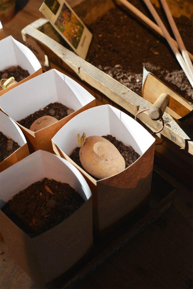 Sättpotatis - När jorden är + 8 grader är det dags att sätta ner potatisen i jorden. Men innan dess så vill jag tipsa om att förgro potatisen. Det bästa är att lägga potatisen direkt på jorden i små kartonger eller en hink fylld med jord. Håll jorden lätt fuktig och placera ljust och gärna lite svalt. Nu kommer både rötter och blast att växa. På detta sätt får man en 'färdig planta' att sätta ut. Potatis går att odla i de flesta jordar, men odla inte potatis på samma ställe år från år. Det…