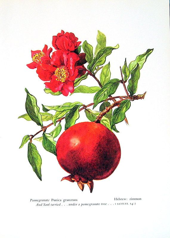 Pomegranate, Vintage 1957 Botanical Print with Bible Verse Book Plate