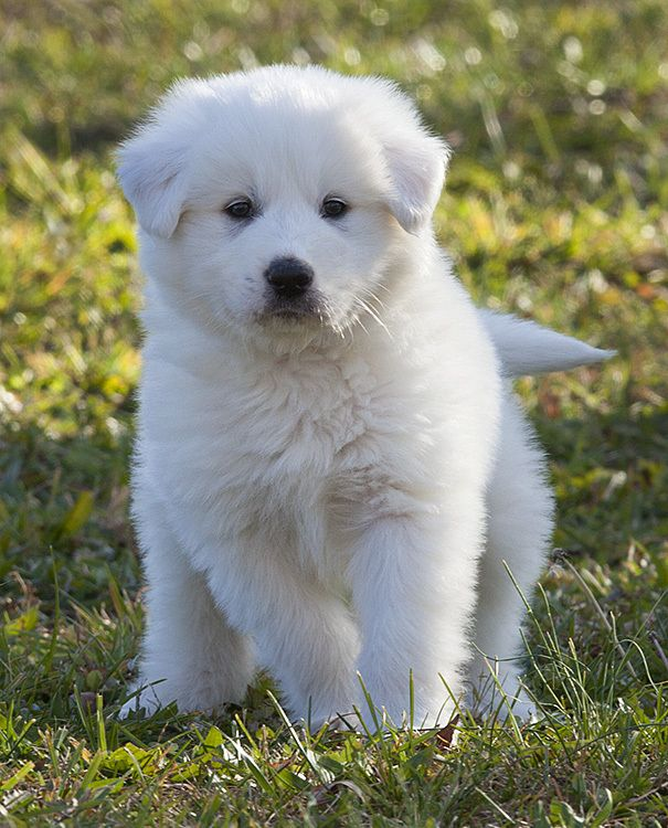 Great Pyrenees pup
