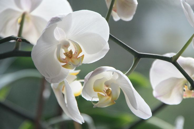 109 best ✿ Orchids ✿ images on Pinterest | Orchid flowers, Exotic ...