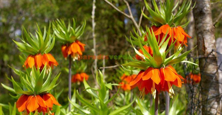 Esenţialul despre Floarea Paştelui | Paradis Verde