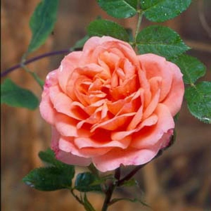 Blessings Rose: Hybrid Teas; bush (1967), climber (1975), rare, soft coral-pink continuous flowering, scented, not very tolerant of shade, not very thorny, not very attractive to bees.  An outstanding bedding rose.