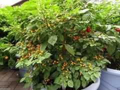 Seeds for Sale at the most reliable Plants Seeds for Sale. Check out the price and buy online. Get free shipping services at the most reasonable rates.                         http://caribbeangardenseed.com/