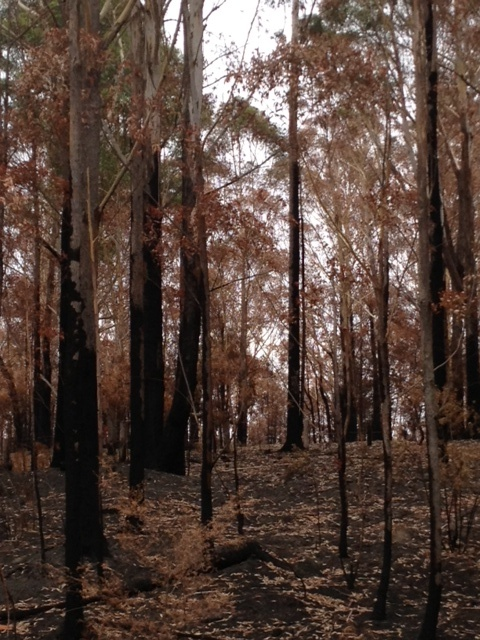 Burnt Gums after the South Coast fires 2013