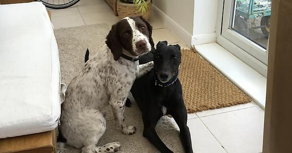 Looking after my dad's springer for a week. Our lurcher is a rescue and pretty skittish around other dogs. After two days I walked into the conservatory and found these two bros.