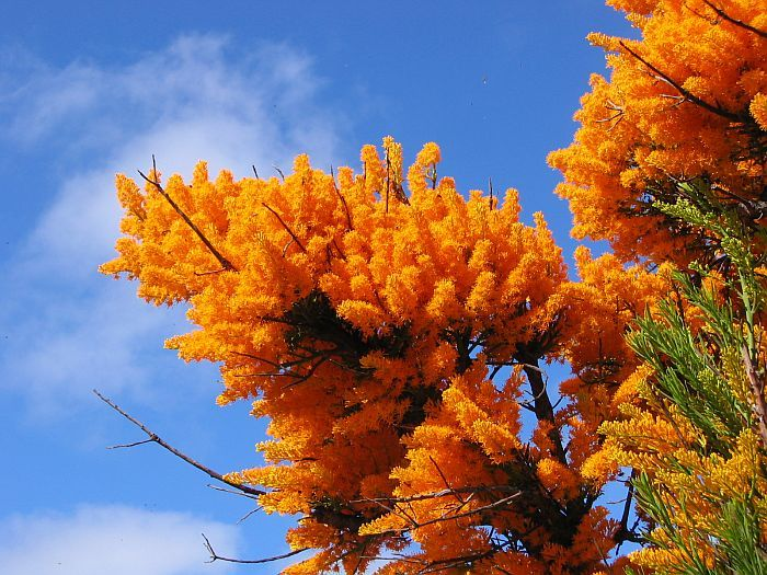Esperance Wildflowers: Nuytsia floribunda – West Australian Christmas Tree