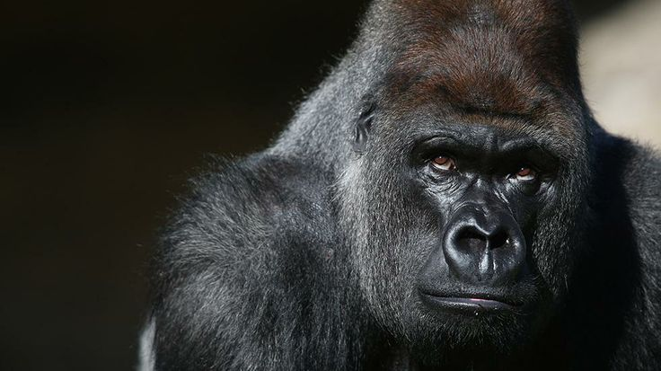 Kumbuka, a 15-year-old western lowland gorilla, explores his new enclosure in ZSL London Zoo on May 2, 2013, in London, England. It is hoped...