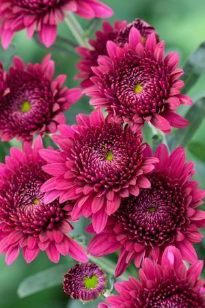 Chrysanthemum 'Smokey Purple - love this color.