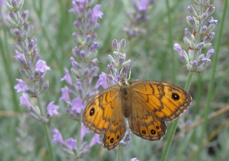 Lavender, Thessaloniki