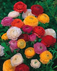 Full Sun Perennial Zone 9  Ranunculus - Mixed Colors
