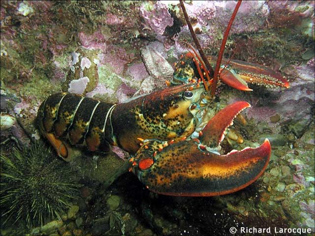 Characteristics of the Lobster