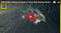 SCG VIRALS: Rare Video: Whales Engage in Three-Way Mating Ritual | National Geographic  You won't ever guess what a whale's private part is known as...