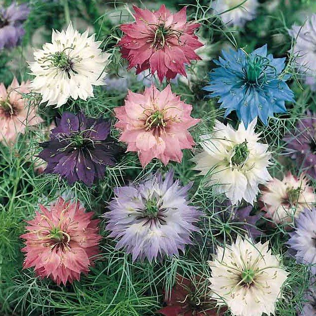 17 Best 1000 images about Nigella on Pinterest Persian Flower and