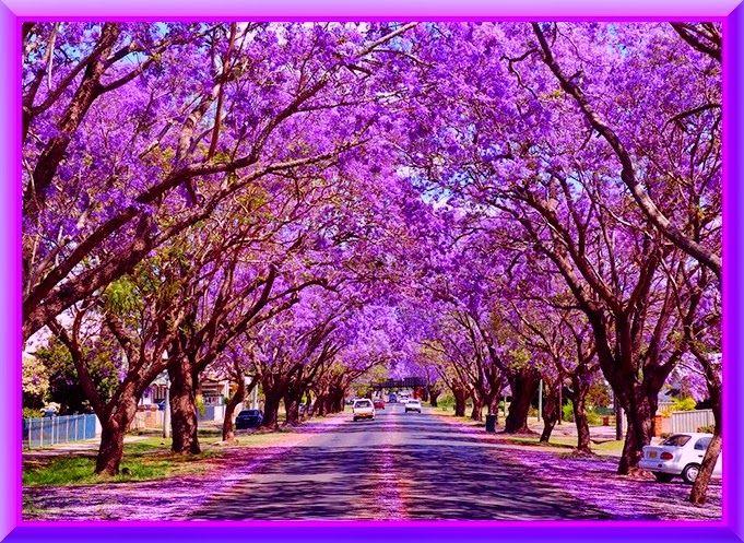 Life and Spirituality: Jacaranda, tree of Angelic Beauty ...
