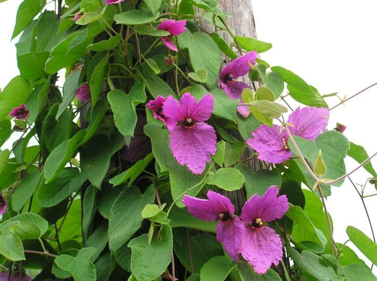 Tropical Vines | Wellies, Wheelbarrows & Wildlife
