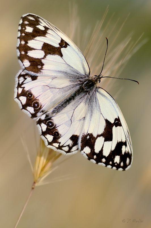 Butterfly by Jesús San Nicolás