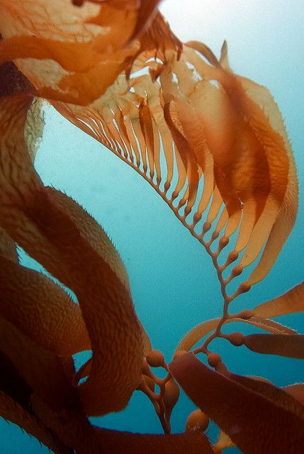 Bosque de algas. Macrocystis, giant kelp