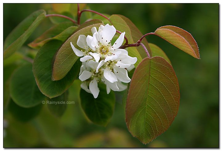 serviceberry flowers (aka saskatoons)  berries are edible.  bright fall colors fo flaming red or bright yellow.