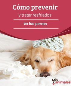Cómo prevenir y tratar resfriados en los perros A continuación te contamos todo sobre los resfriados en los perros. Si tu perro estornuda, tiene mocos, tose, le lloran los ojos y está decaído, todo parece indicar que padece esta enfermedad. #prevenir #tratar #resfriados #salud