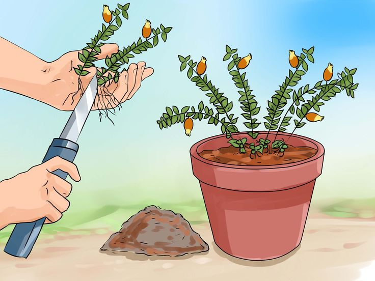 How+to+Care+for+a+Goldfish+Plant+--+via+wikiHow.com
