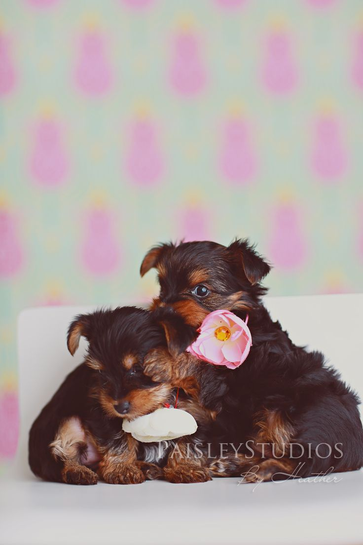 Pet photography  Yorkie puppies for SALE! » Paisley Studios {the Blog}