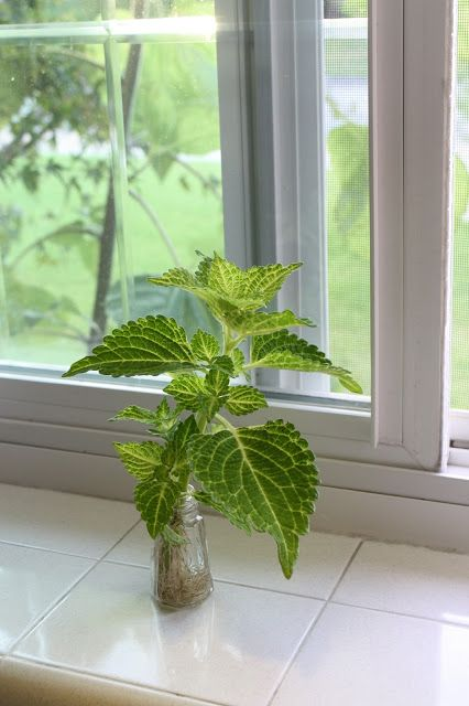 root coleus in water to propagate new plants, Sunny Simple Life: Summer in Full Swing and a Perfect Late Summer Plant