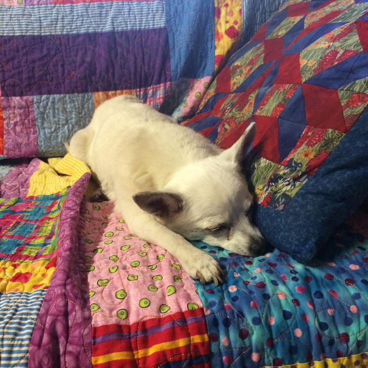 It's the little things that matter the most. My forever puppy spends more time enjoying my quilts than ever before - but she is 15 after all. I thank God everyday that He is granting Pixxie reasonable health so I can enjoy her presence awhile longer. #ilovemydog #chihuahua #happinesss