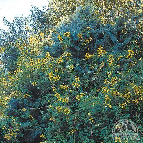 Plant Profile for Clematis tangutica 'Radar Love' - Golden Clematis Perennial