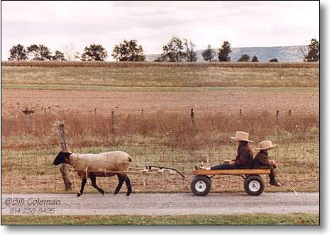 Adorable Amish kids in cart, pulled by a sheep!! www.amishamerica.com